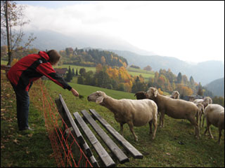 feeding sheep